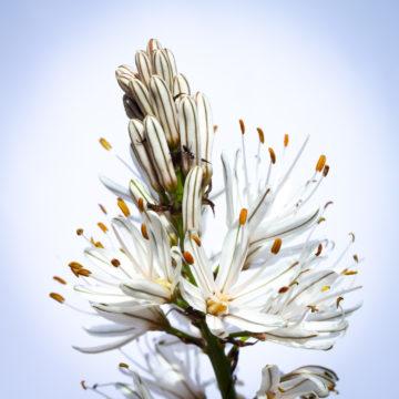 Asphodèle (Asphodelus albus)